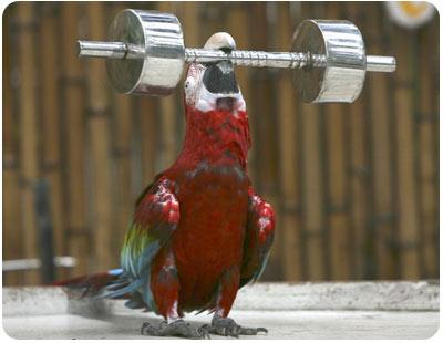 Perico levanta pesa